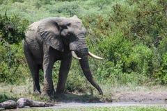 Elefante que estende seu tronco para beber do furo molhando imagem de stock royalty free