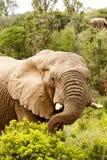 Elefante que estica ao ramo com seu tronco Fotos de Stock Royalty Free
