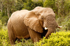 Elefante que estica para baixo com seu tronco Imagens de Stock Royalty Free