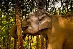Elefante que fricciona seu tronco à árvore Imagens de Stock