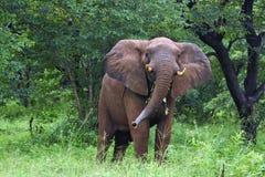 Elefante que hace una postura Fotos de archivo libres de regalías