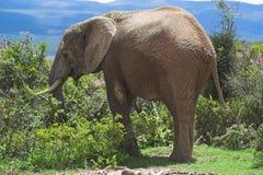 Elefante que introduce foto de archivo libre de regalías