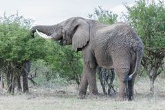 Elefante que masca em uma árvore fotos de stock