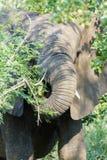 Elefante que masca lejos en un arbusto espinoso imagen de archivo