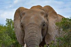 Elefante que mira en cámara foto de archivo libre de regalías