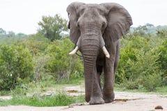 Elefante que muestra apagado sus colmillos en el parque fotografía de archivo