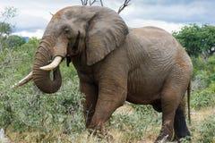 Elefante que muestra sus colmillos hermosos fotografía de archivo