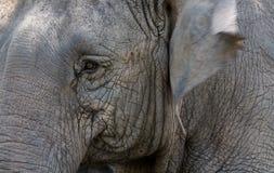 Elefante que mueve de un tirón su oído foto de archivo libre de regalías