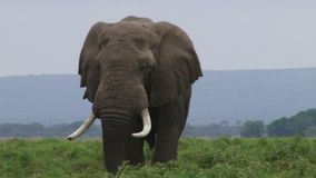 Elefante que pasta metrajes