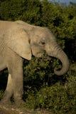 Elefante que pasta imagem de stock