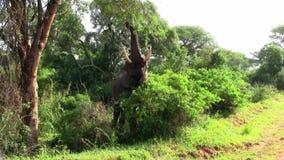 Elefante que pasta o que come de un árbol almacen de video