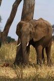 Elefante que rasguña el poste Imagen de archivo libre de regalías