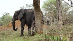 Elefante que rasguña su pierna a un árbol almacen de metraje de vídeo