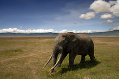 Elefante que recorre bajo el cielo azul Fotos de archivo