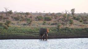 Elefante que restaura por un waterhole en la sabana africana almacen de video