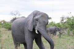 Elefante que sacude la pista delante del coche Imagen de archivo libre de regalías