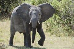 Elefante que sale del agua fotografía de archivo