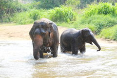 Elefante que salpica con agua Foto de archivo