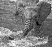 Elefante que salpica con el tronco Imagen de archivo