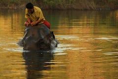 Elefante que se baña en el río con su controlador en la salida del sol Imagen de archivo libre de regalías