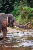 Elefante que se coloca en el río en la selva tropical del santuario de Khao Sok, Tailandia Foto de archivo