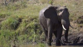 Elefante que se coloca en un río almacen de video