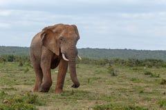 Elefante que tiene un paseo de la voluta fotos de archivo libres de regalías