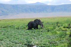 Elefante in regione selvaggia Immagini Stock Libere da Diritti