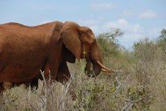 Elefante rojo Imagenes de archivo
