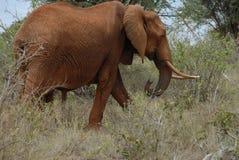 Elefante rojo Foto de archivo libre de regalías