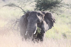 Elefante romântico Foto de Stock Royalty Free