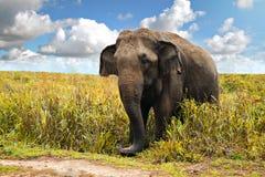 Elefante salvaje Fotografía de archivo