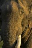 Elefante salvaje Imagenes de archivo