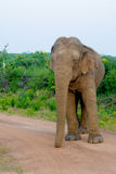 Elefante salvaje en el parque nacional de Yala en Sri Lanka Imagen de archivo