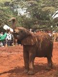 Elefante sedento foto de stock royalty free