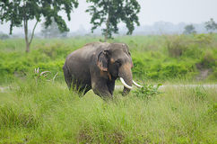 Elefante selvagem Foto de Stock Royalty Free