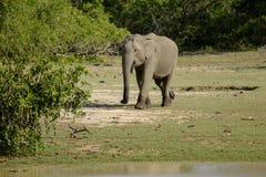 Elefante selvagem Fotos de Stock