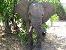 Elefante selvagem do close up que guarda a presa no parque nacional de Chobe, Botswana, África Imagens de Stock