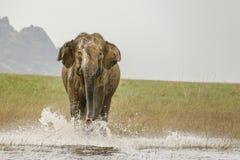 Elefante selvagem enorme furioso de carregamento na água foto de stock