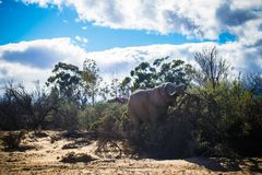 Elefante selvagem no safari fotos de stock royalty free