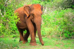 Elefante selvagem Sri Lanka Imagens de Stock Royalty Free