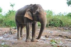 Elefante selvaggio Fotografia Stock Libera da Diritti