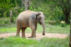 Elefante selvaggio Fotografie Stock