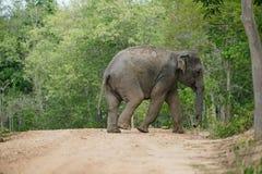 Elefante selvaggio Fotografia Stock