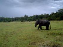 Elefante selvaggio che mangia erba in un parco nazionale dello Sri Lanka fotografia stock