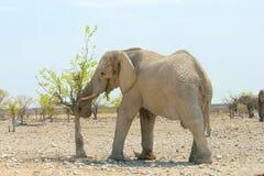 Elefante selvaggio che mangia le foglie, Namibia Fotografia Stock