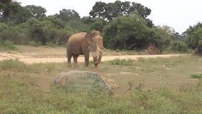 elefante selvaggio del tusker di yala in polvere immagini stock