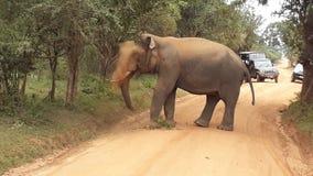 elefante selvaggio del tusker di yala in polvere immagine stock