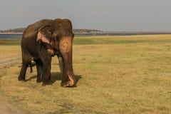 Elefante selvaggio enorme, Sri Lanka Fotografie Stock