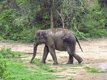 Elefante selvaggio nello Sri Lanka Immagine Stock Libera da Diritti